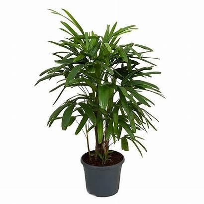 Palm Rhapis Plants Excelsa Lady Palms Indoor