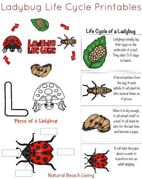 the best ladybug cycle activities amp free printables 651 | ladybug life cycle printables