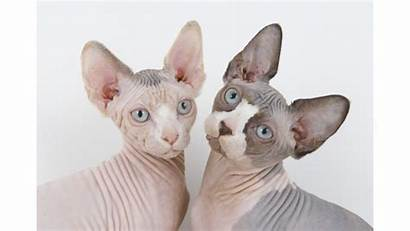 Sphynx Cats Cat Hairless Wallpapers Bald