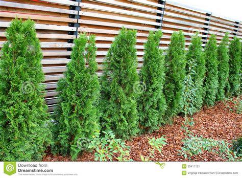 row  thujas stock image image  pine pattern plant