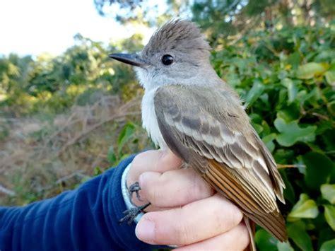 Kiawah Island Banding Station New Species Ash Throated