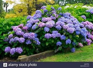 Hydrangea Macrophylla Winterhart : image gallery macrophylla hydrangea ~ Michelbontemps.com Haus und Dekorationen