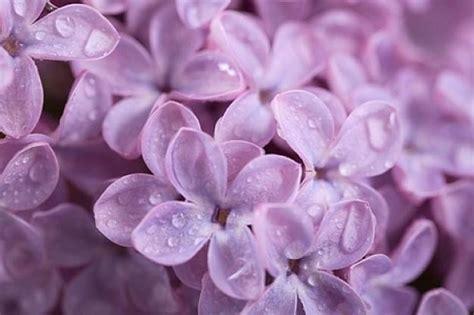 fiori lillà fiori di lilla fiori di piante lilla fiori