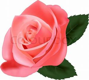 Beautiful pink rose with leaves isolated on the white