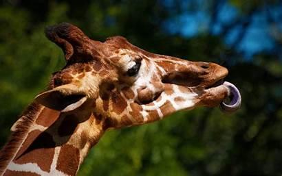 Giraffe Animal Alphacoders Wallpapers Girafes Curiosos Datos
