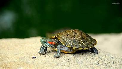 Turtle Wallpapers Turtles Backgrounds Slider Eared Animal