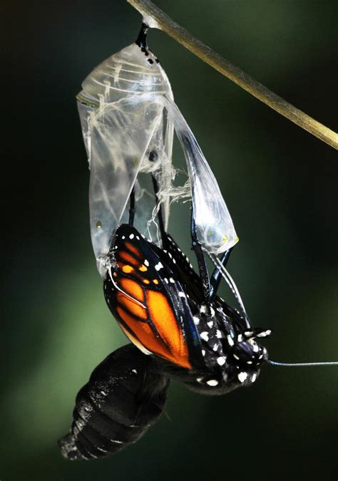All of Nature: Monarch Butterfly Emerging From Chrysalis ...