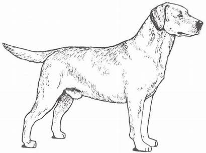 Labrador Retriever Lab Drawing Coloring Dog Pages