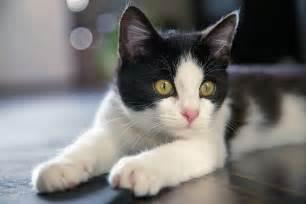 tuxedo cat 9 reasons tuxedo cats rock the purrington post