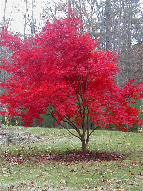Autumn One More Time With Feeling!  Japanese Maple