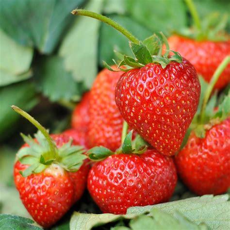 strawberry seeds strawberry temptation seeds fragaria ananassa garden seeds market free shipping
