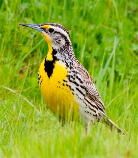 oregon state bird western meadowlark