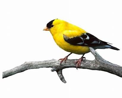 Bird Goldfinch Birds American Burung Moonglowlilly Bahan