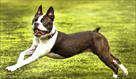 boston terrier shedding guard dogs that don t shed how many do you