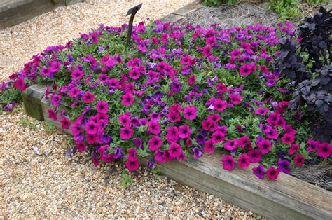 when to plant petunias petunia growing from seed walter reeves the georgia gardener