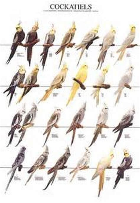 Different Types Of Cockatiels Ciw