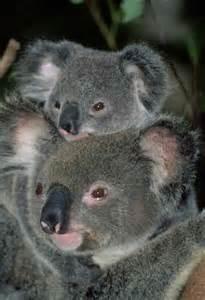 Australian Animals Koala