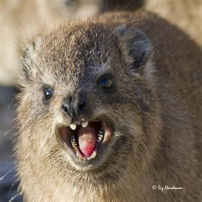 Rock Hyrax a relative of the Elephant! – Nature on Edge