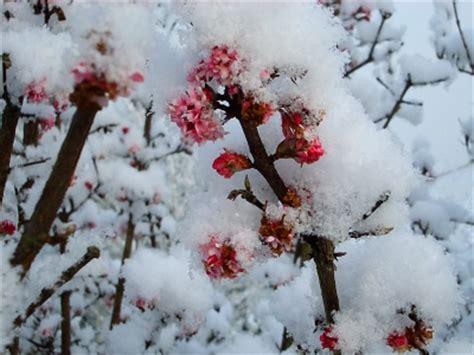 im winter blühende blumen bl 252 hpflanzen im winter