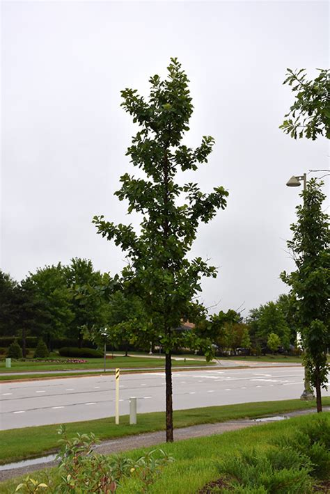 urban pinnacle bur oak quercus macrocarpa jfs kw