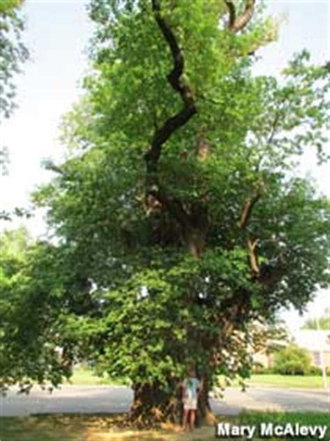 Owensboro, KY - World's Largest Sassafras Tree