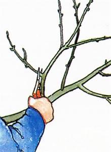 Kirschbaum Richtig Schneiden : junge obstb ume schneiden jungen apfelbaum schneiden wann ~ Lizthompson.info Haus und Dekorationen