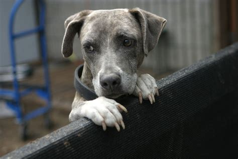 Fileblue Brindle  Ee  Dog Ee   Lo Ng On A Fence Jpg Wikimedia