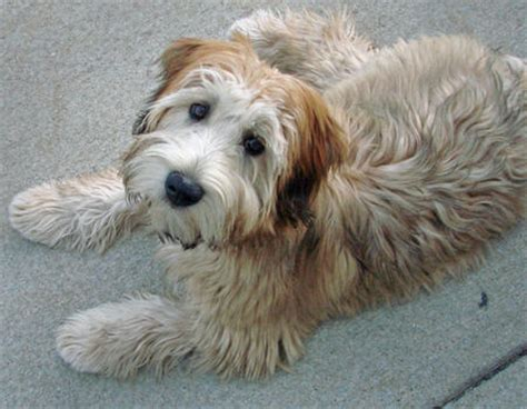 do wheaten terrier puppies shed brutus the wheaten terrier dogs daily puppy