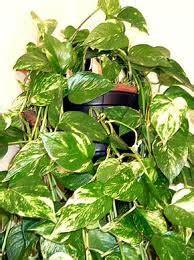 plantes vertes d int 233 rieur retombantes fleuriste bulldo