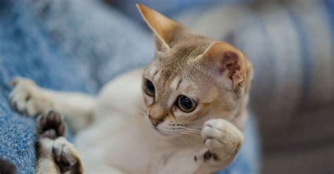 die singapura die kleinste katze der welt