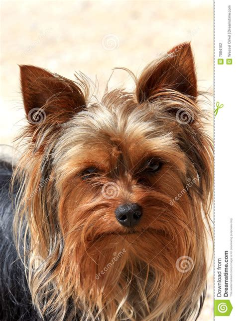 portrait    brown dog stock photo image  love