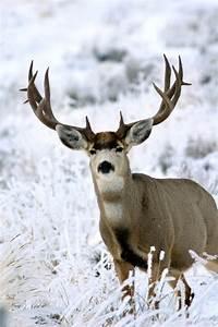 Monster muley. #Deer #MuleDeer | Outdoors. Nature. The ...