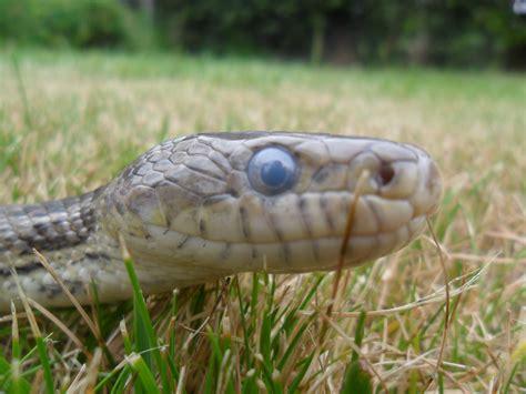 Corn Snake Shedding Often by Blue Shedding Corn Snake By Stormreptiles On Deviantart
