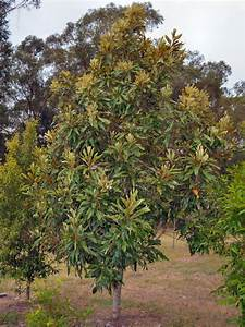 Grevillea baileyana – Brown Silky Oak | Gardening With Angus