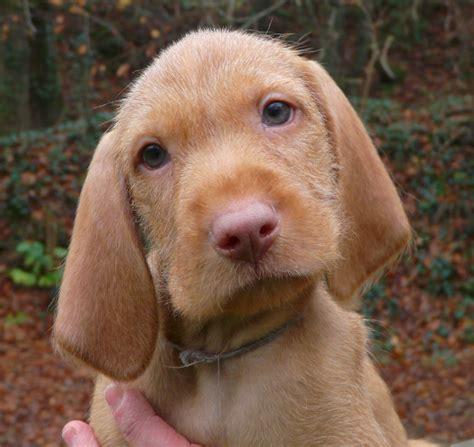 puppy portraits the final week belatarr hungarian