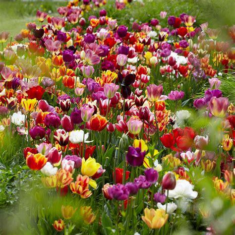 van zyverden tulips bulbs economy medley  varieties set