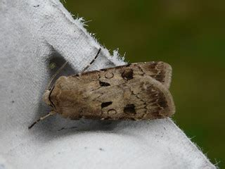 Heart and Dart (Agrotis exclamationis)   Top moth in the ...