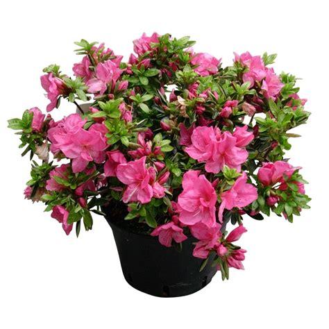 azalea japonica h 40 50 cm ctr 7 l arbres et arbustes pour balcons et terrasses jardinerie