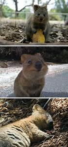 meet the quokka the happiest animal in the world photos