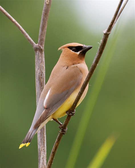 nw bird blog cedar waxwing
