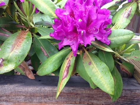 Viskas apie rododendrus: kaip teisingai auginti - DELFI ...