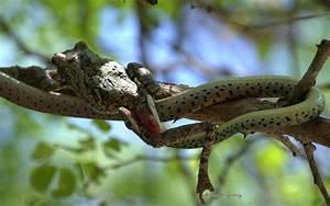 Spotted bush snake enjoys a frog for breakfast - Africa ...