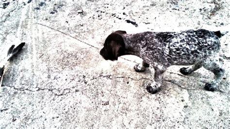 pitbull welpen kaufen stuttgart haus hassley hagen