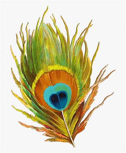 Peacock Clipart Feathers Single Info Mor Cartoon