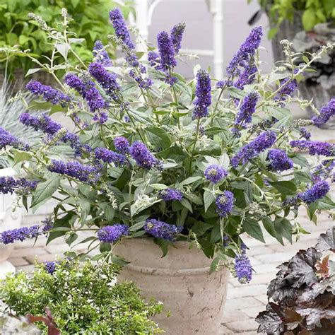 buy buddleia miniature blue chip j bulbs