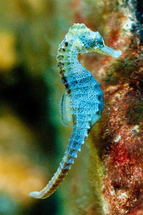seahorse seahorses sea creatures aquarium animals underwater flickr ocean under fish cape tropical animal male nc species stunning hippocampus camera