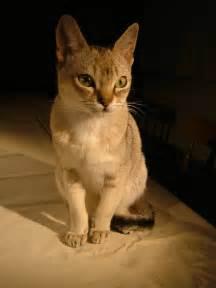 singapura cat file raffles singapura cat jpg