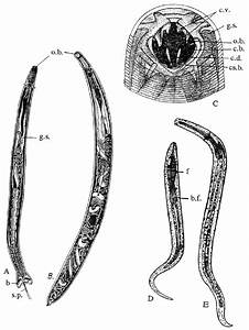 Ancylostoma Duodenale A