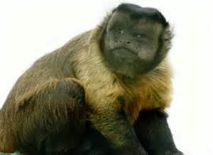 Brown Capuchin Monkey