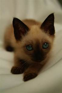 siamese cats for behaviors of siamese kittens tripsandthecity